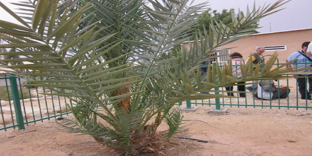 date-palm-from-Qumran Agriculture in Israel